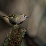 Kungsfågel Amundön-14