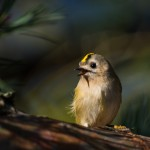 Kungsfågel Delsjön-13