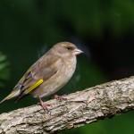 Grönfink Botaniska-14